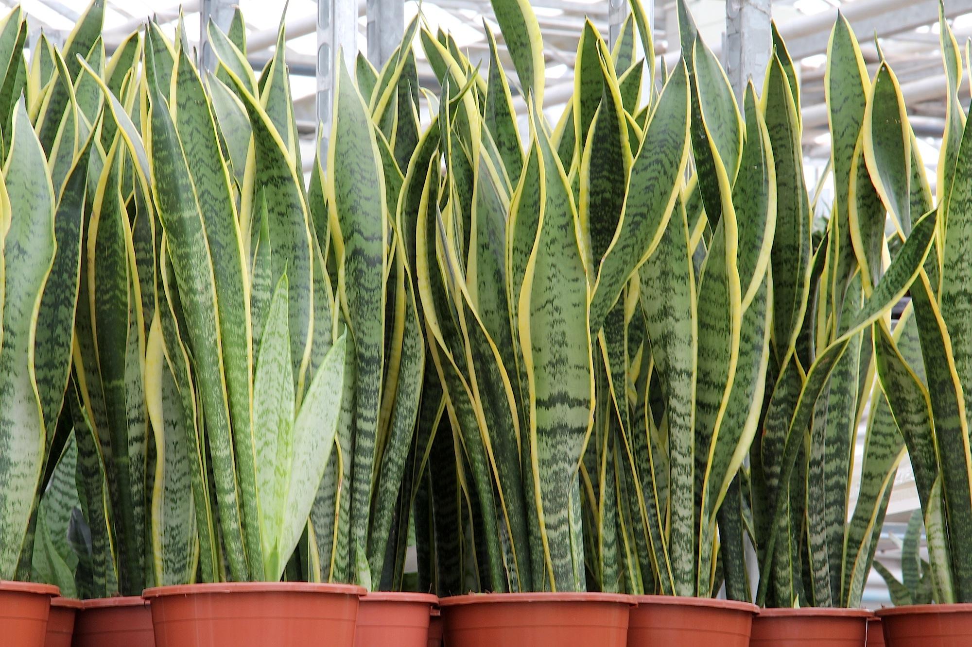 10 piante sempreverdi da appartamento perfette per ogni ...