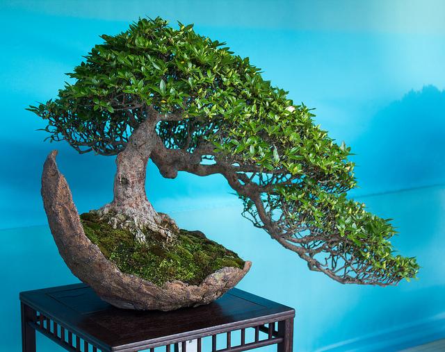 Come potare un bonsai i consigli per un risultato for Tipi di bonsai