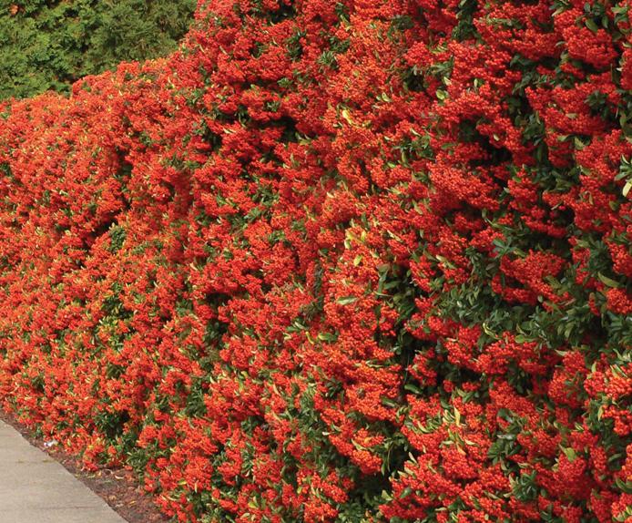 Piante per siepi le pi indicate per ogni esigenza for Piante siepe sempreverde