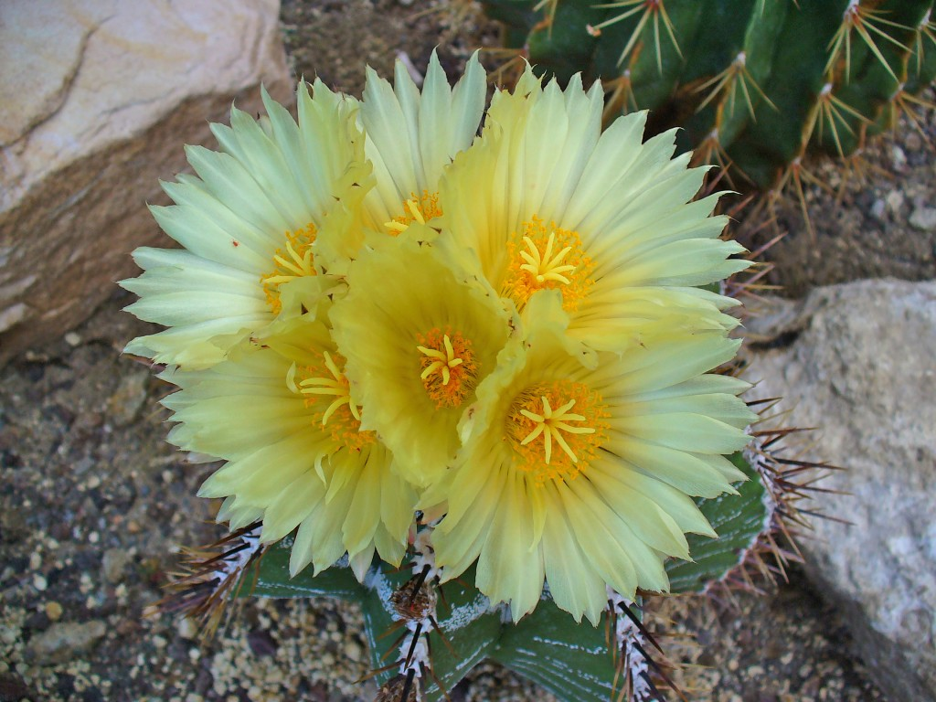 Piante grasse con fiori alla scoperta dell 39 astrophytum for Piante e fiori