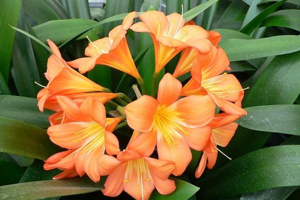 clivia-pianta-ornamentale-da-coltivare-in-appartamento (1)