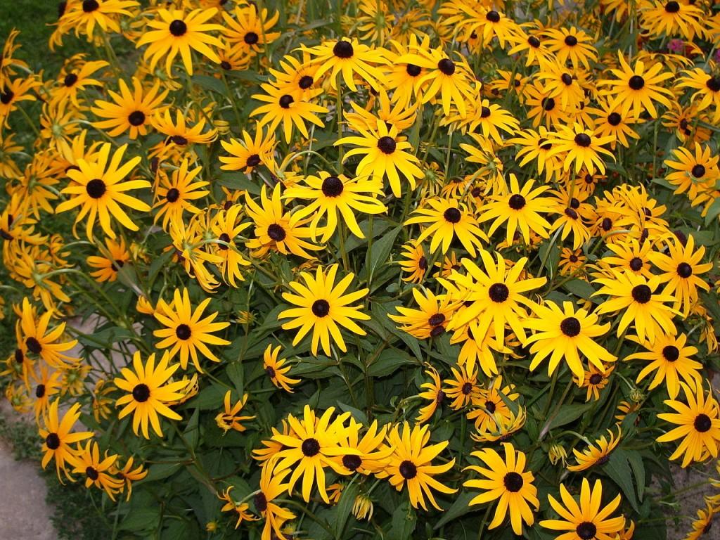 3 fiori gialli per creare bordure perenni lombarda flor
