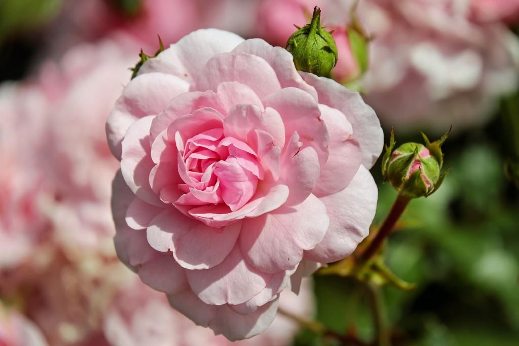 Pink Flowers Blossom Flower Summer Bloom Rose