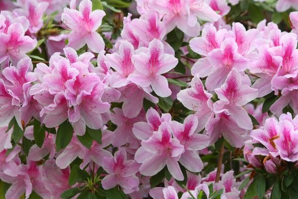 come-coltivare-curare-azalea-in-vaso-in-giardino (1)