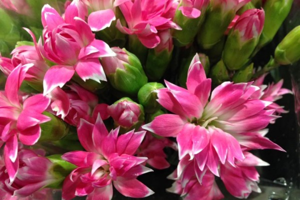 Dianthus fabulous