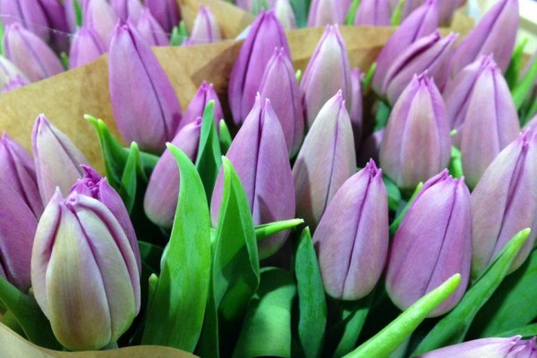 Tulipani Purple Prince