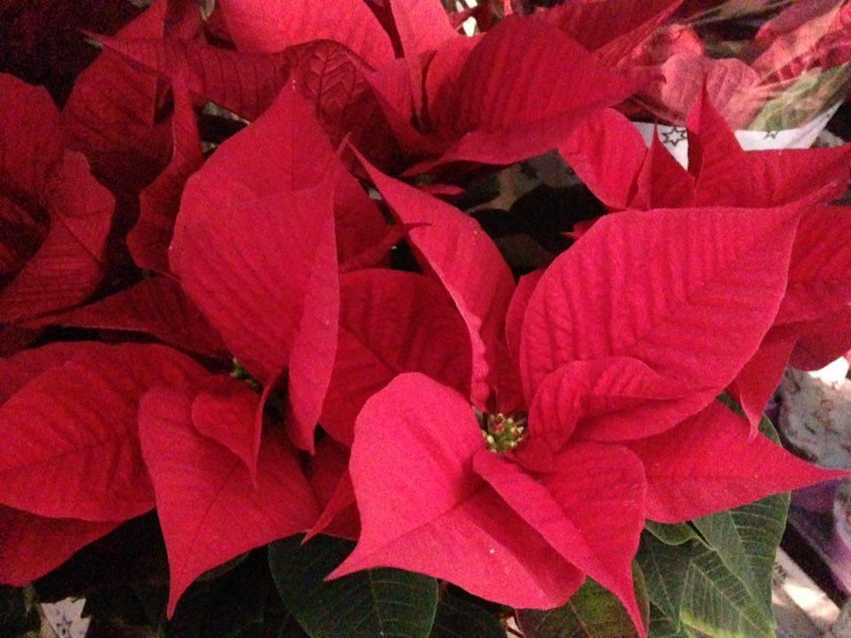 Come Mantenere Stella Di Natale.Stella Di Natale Come Curarla E Come Conservarla Dopo Le Feste
