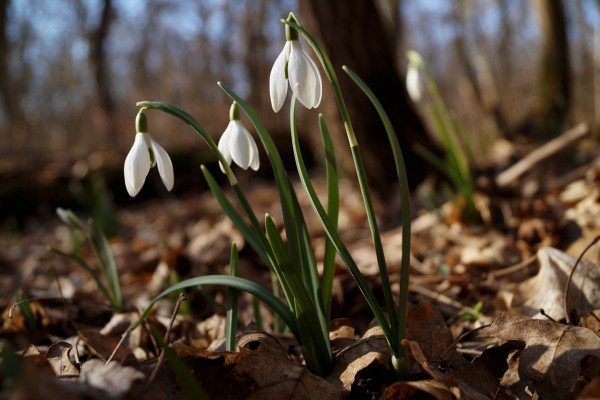 fiori-invernali-da-esterno-perenni-Bucaneve