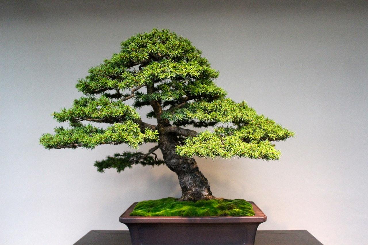 Bonsai 7 consigli per principianti lombarda flor for Accessori per bonsai
