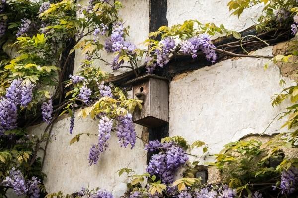 Le Piante Rampicanti Piu Adatte Per Abbellire Muri E Facciate