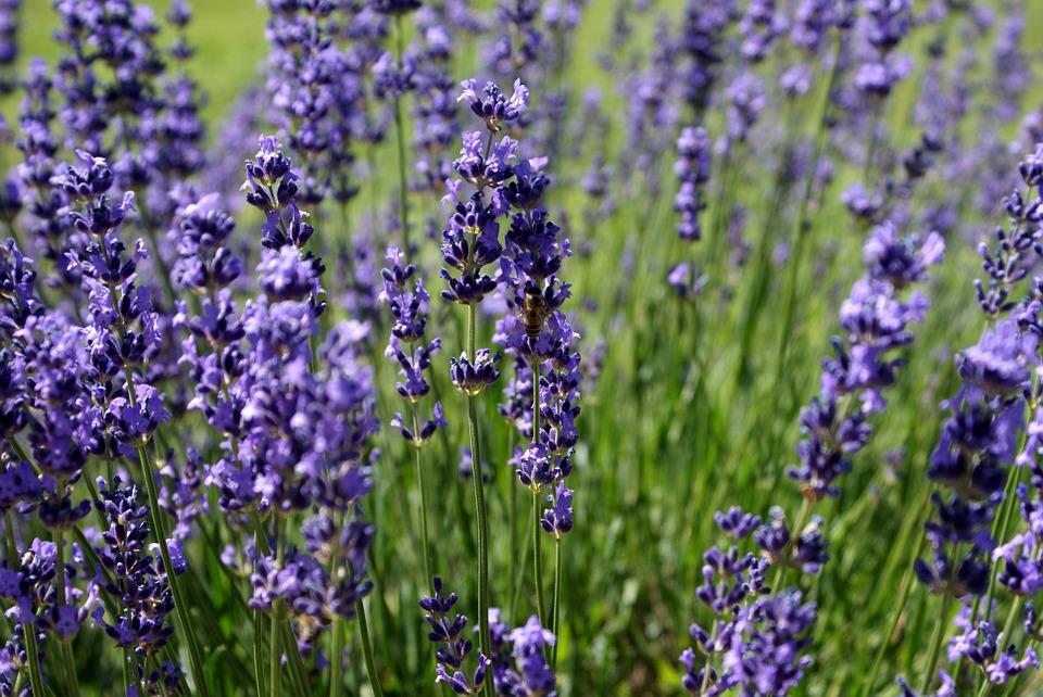 Piante Medicinali Da Coltivare : Piante perenni da coltivare nel giardino della casa al