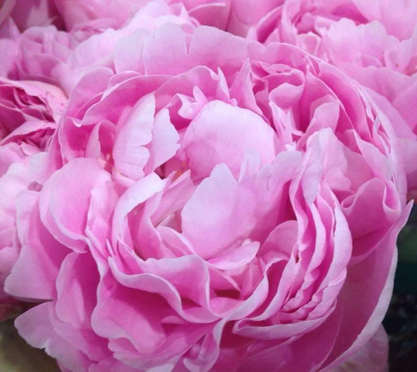 Matrimonio In Rosa : I 7 fiori perfetti per un matrimonio in rosa lombarda flor