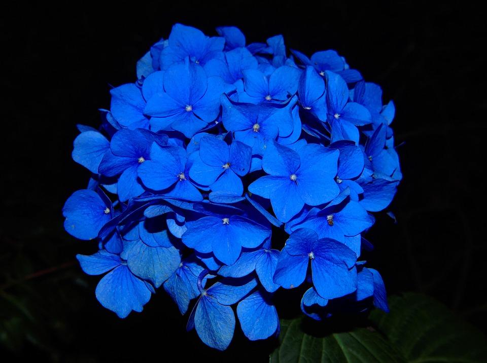 Fiori Blu.I Fiori Blu Piu Belli E Raffinati Per Ogni Occasione Lombarda Flor