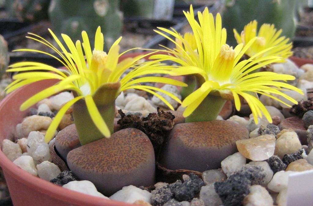 Piante grasse con fiori, ecco le più belle - Lombarda Flor