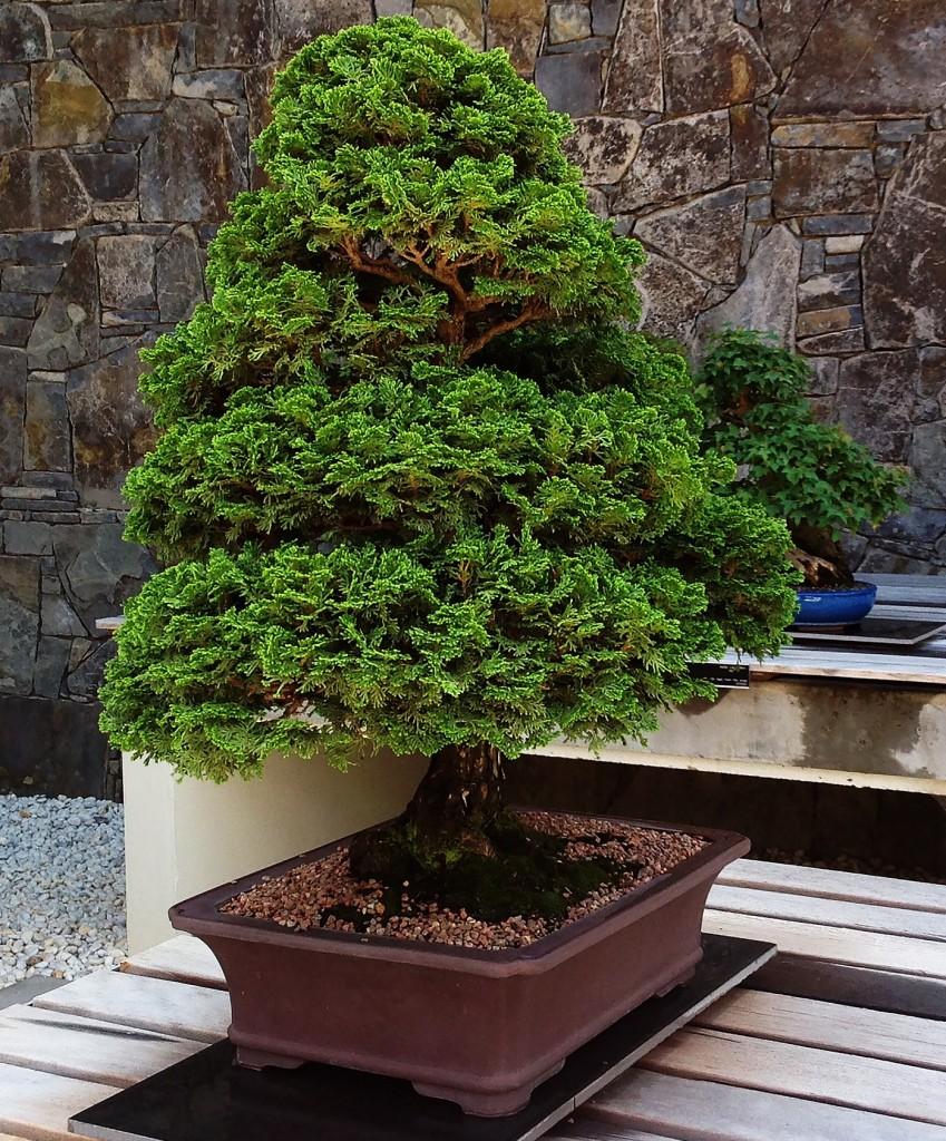 bonsai da esterno le piante da scegliere e i consigli per