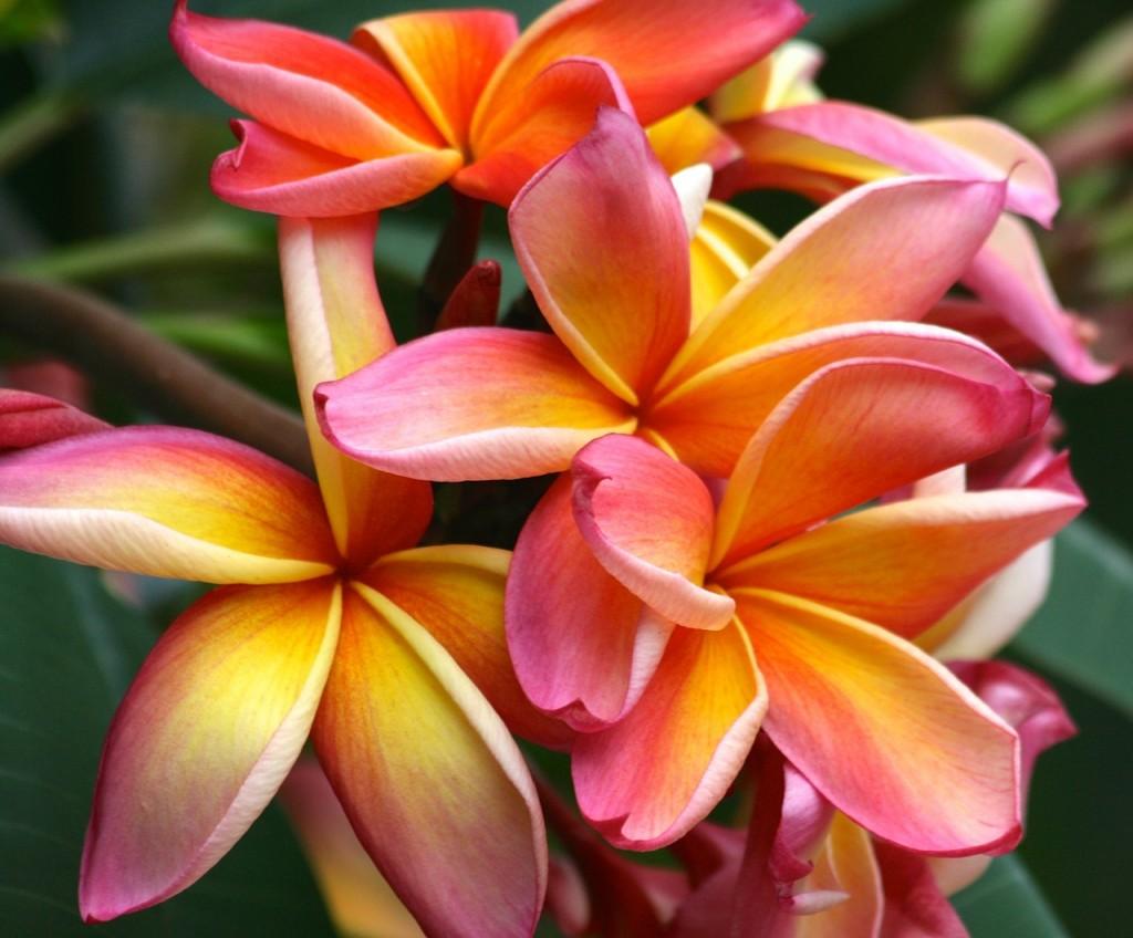 Fiori Esotici.Fiori Hawaiani Ecco Le Varieta Piu Colorate Ed Esotiche