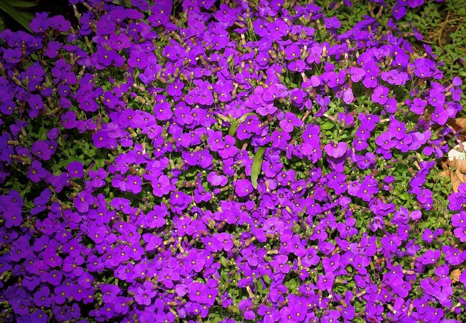 I fiori e le piante pi adatte per un 39 aiuola color porpora for Piante da aiuola perenni