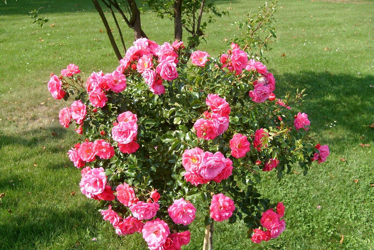 3 piante da abbinare alle rose lombarda flor for Rosa pianta