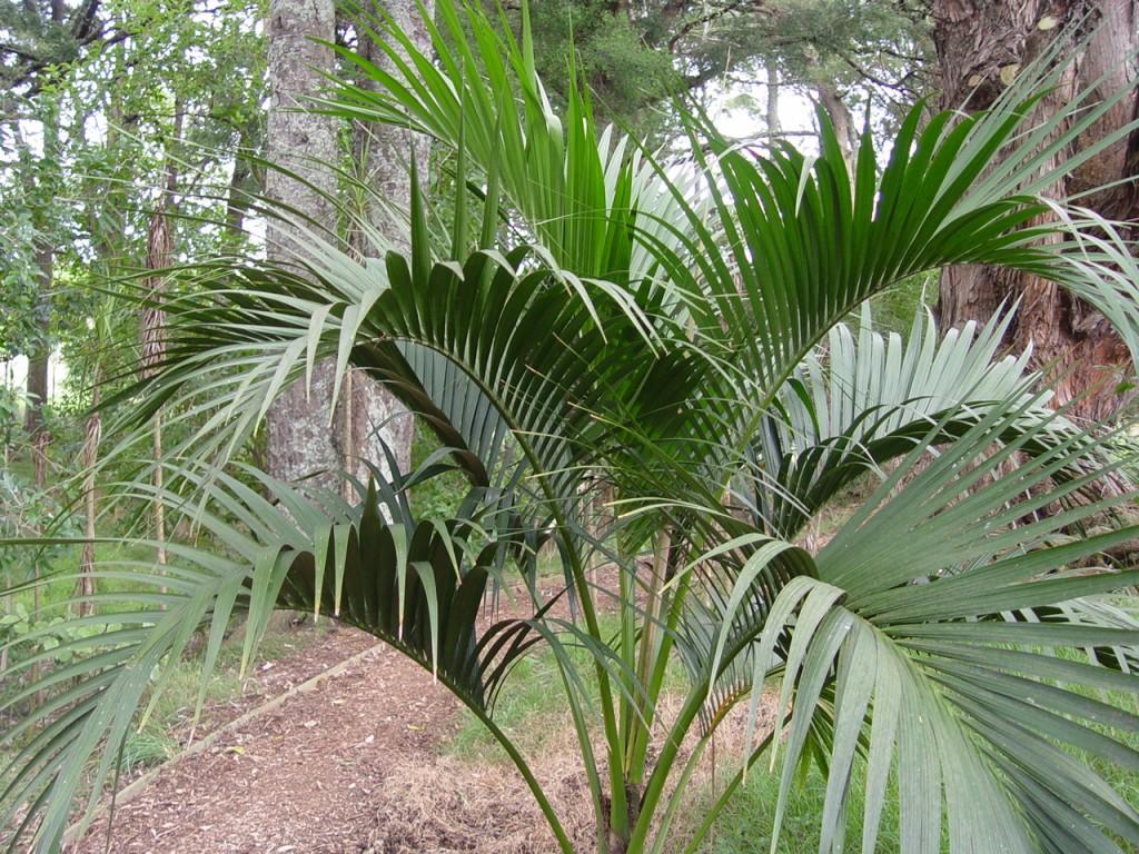 Come-coltivare-la-kenzia-pianta-tropicale (2)