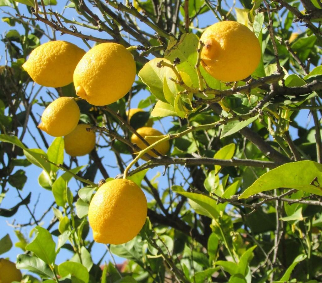Come Curare Le Piante come curare una pianta di limoni? ecco i consigli per