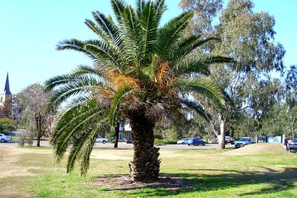 curare-le-palme-da-giardino