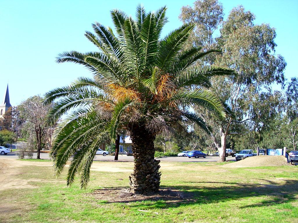 Palma da giardino come curarla e le variet pi adatte - Costo palma da giardino ...