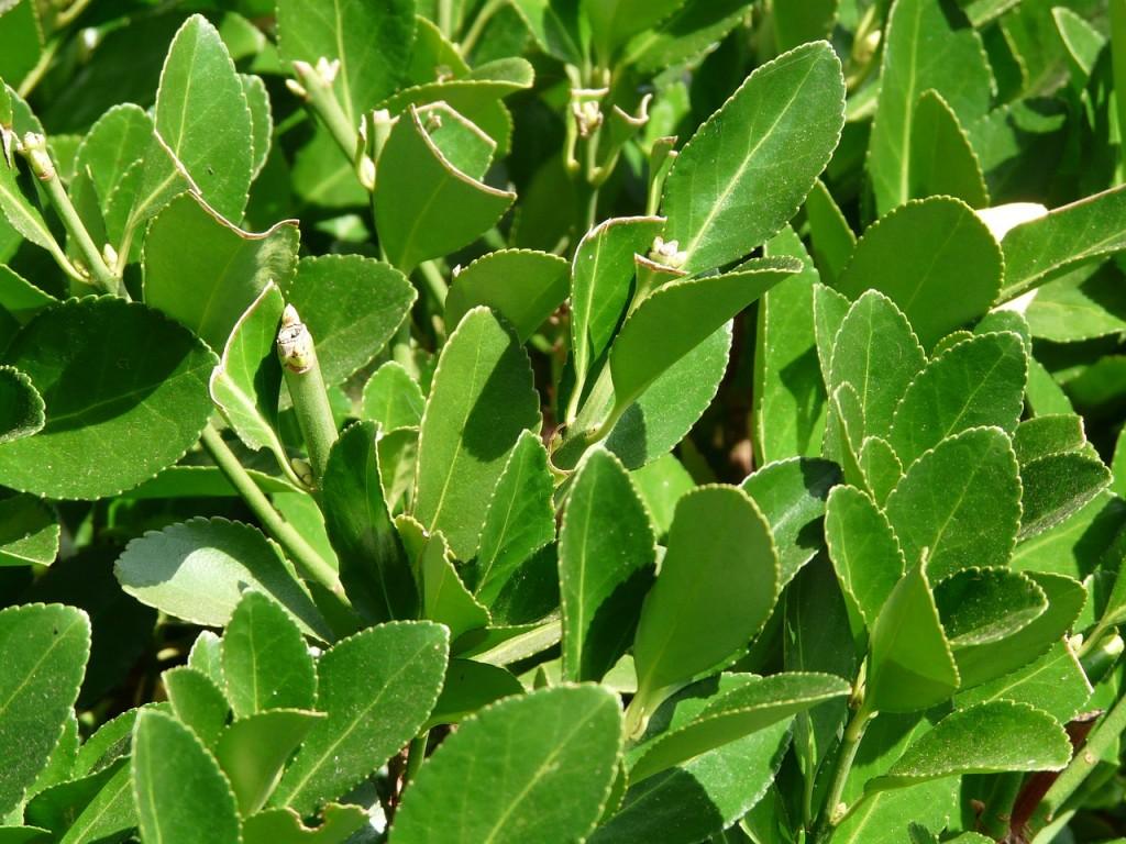 Siepi Da Giardino Crescita Veloce : Piante per siepe che crescono velocemente lombarda flor