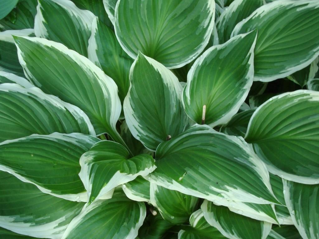 Come Curare Le Piante come coltivare e curare la hosta, pianta dalle foglie