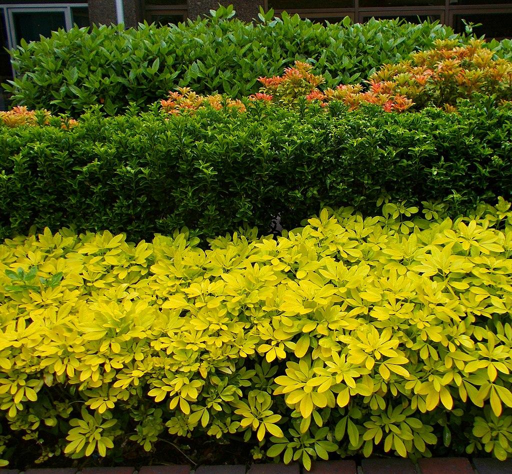 Piante Da Siepi Immagini 5 piante per siepi basse, dal bosso alla forsizia - lombarda